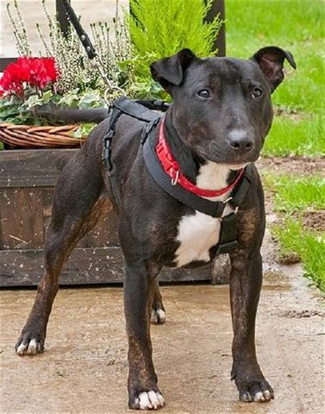 Ronny – 2 year old male English Bull Terrier Cross dog for