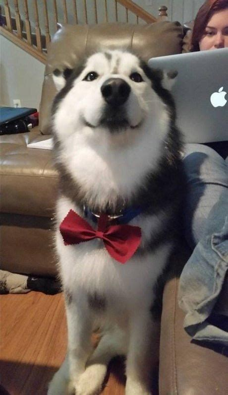 I Has A Hotdog - bow tie - Funny Dog Pictures   Dog Memes