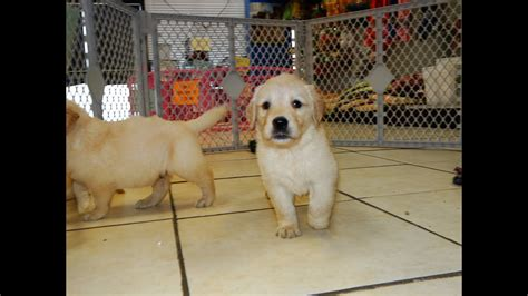 Golden Retriever, Puppies, For, Sale, In, Charlotte, North