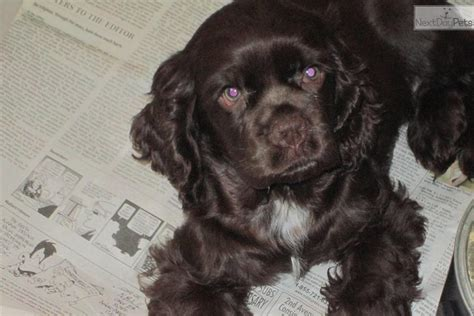 Cocker Spaniel for sale for $350, near Eastern Panhandle