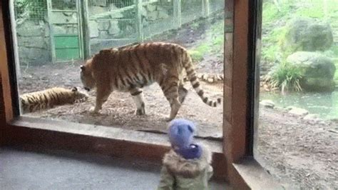 Dublin Zoo wake up call - tiger fight animated gif