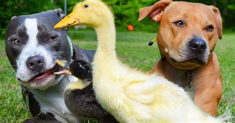 Pit Bulls Fell In Love With Their Baby Ducks The Second