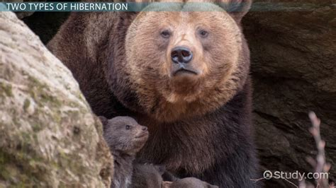 What is Hibernation? - Definition & Facts - Video & Lesson