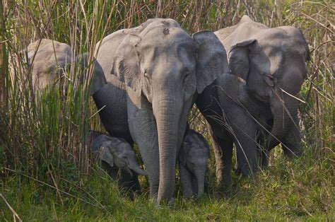 Wild Indian Elephant Dies Trying to Escape Captivity