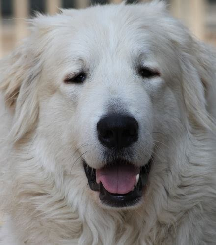Pyreneese Berghond kennel Payona