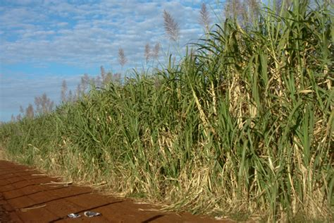 Sugarcane changes the temperature of local climate