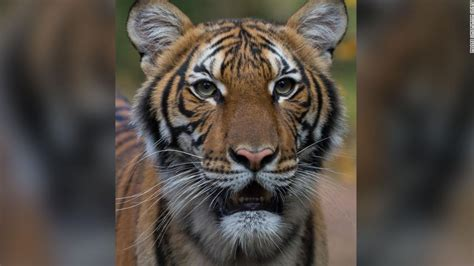A tiger at the Bronx Zoo tests positive for coronavirus - CNN